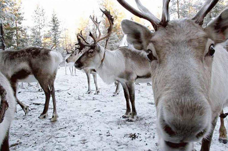 Reno en Laponia Desnowtrips